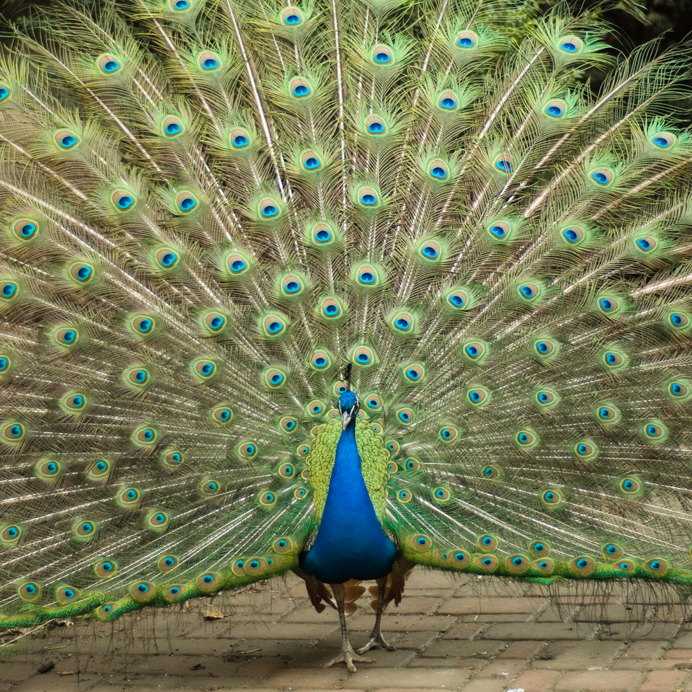 It may seem obvious, but peacocks are not chickens, and each person is wonderfully unique.
