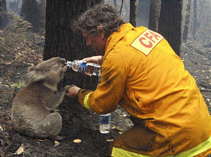 Local CFA firefighter David Tree shares his water with an injured Australian Koala at Mirboo North after wildfires swept through the region on Monday, Feb. 9, 2009. Suspicions that the worst wildfires ever to strike Australia were deliberately set led police to declare crime scenes Monday in towns incinerated by blazes, while investigators moving into the charred landscape discovered more bodies. The death toll stood at 181.(AP Photo/Mark Pardew)