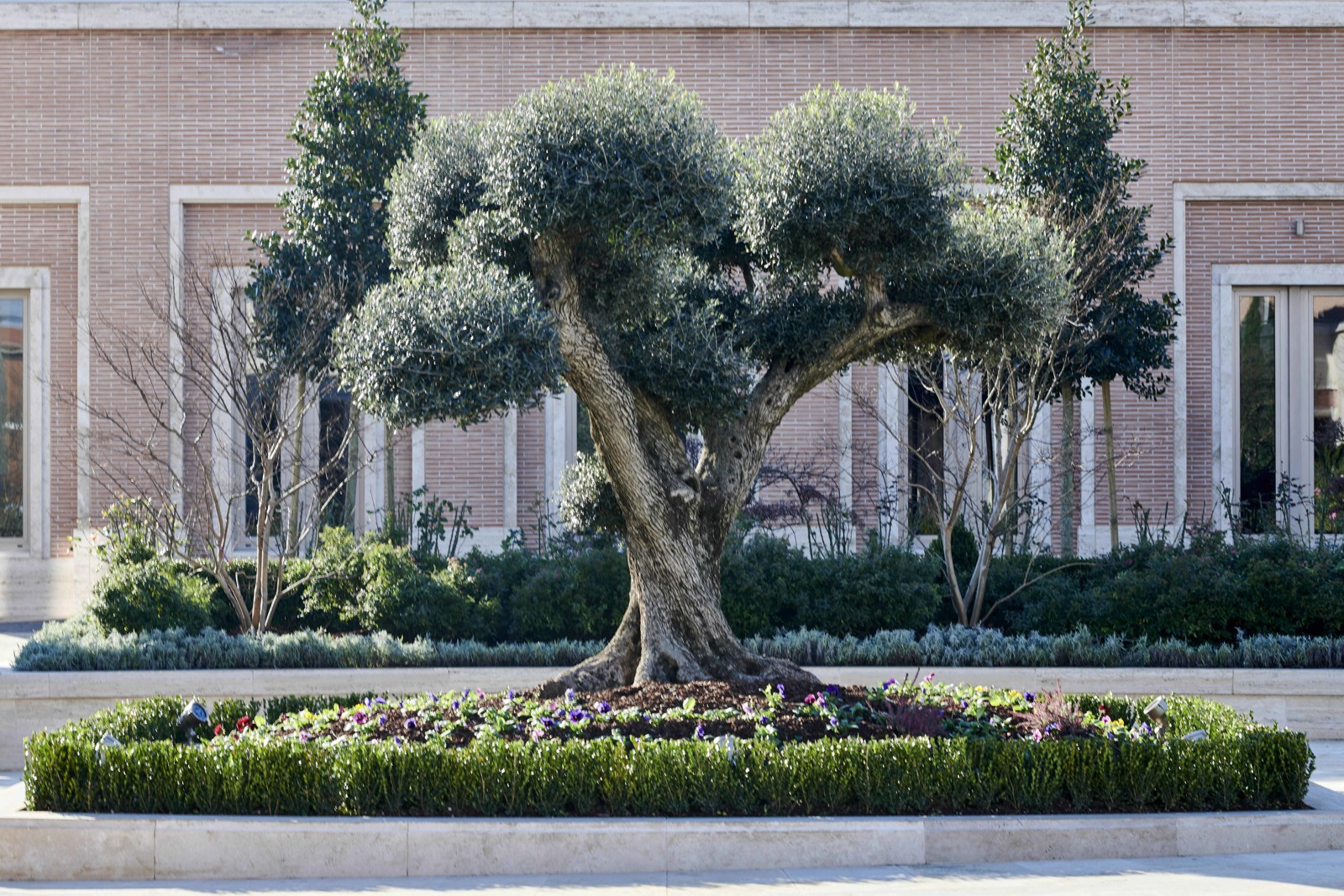 One of the olive trees found on the piazza of the Rome Italy Temple grounds.