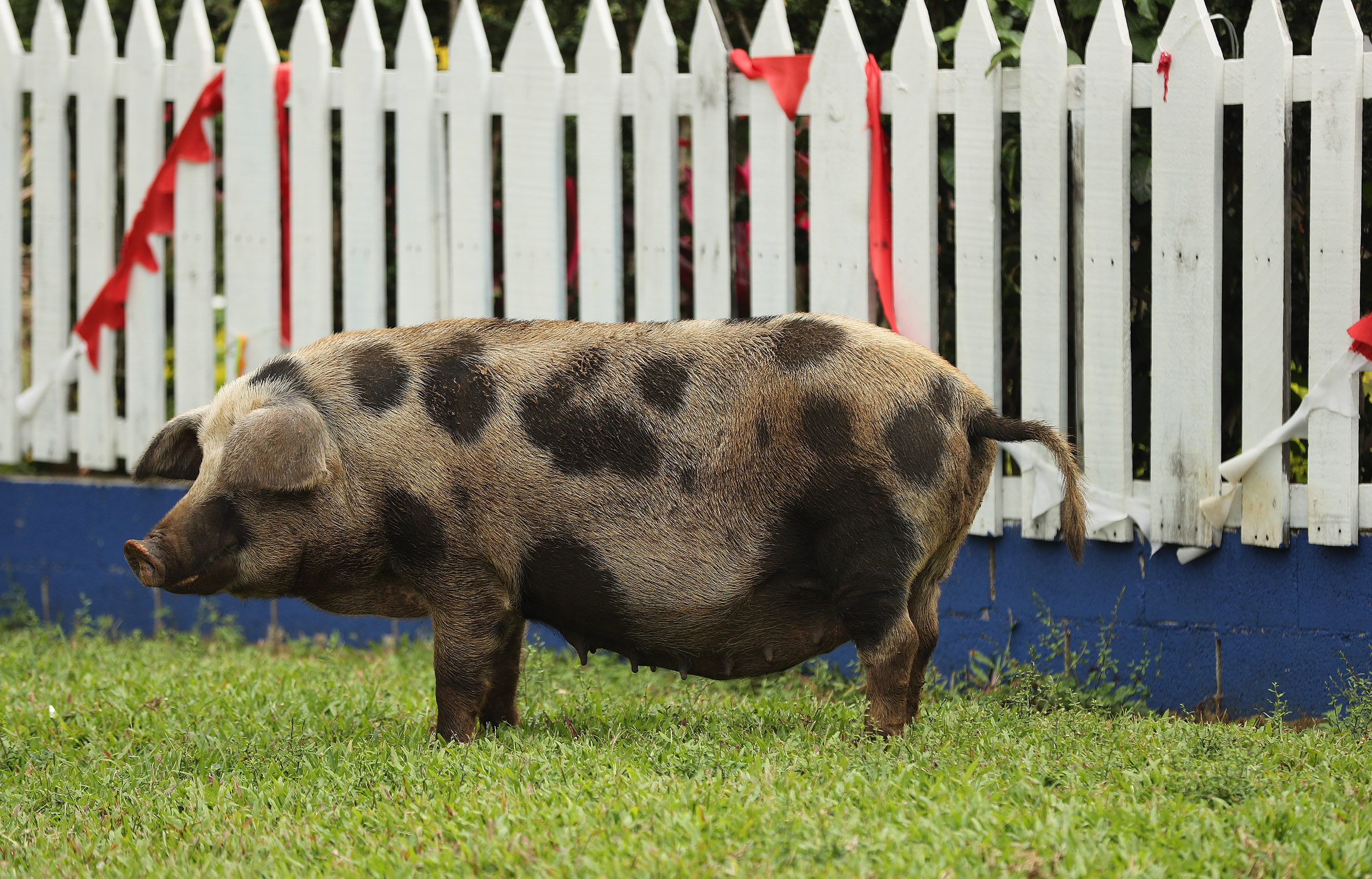 A pig wanders near a home in Tonga on May 23, 2019.