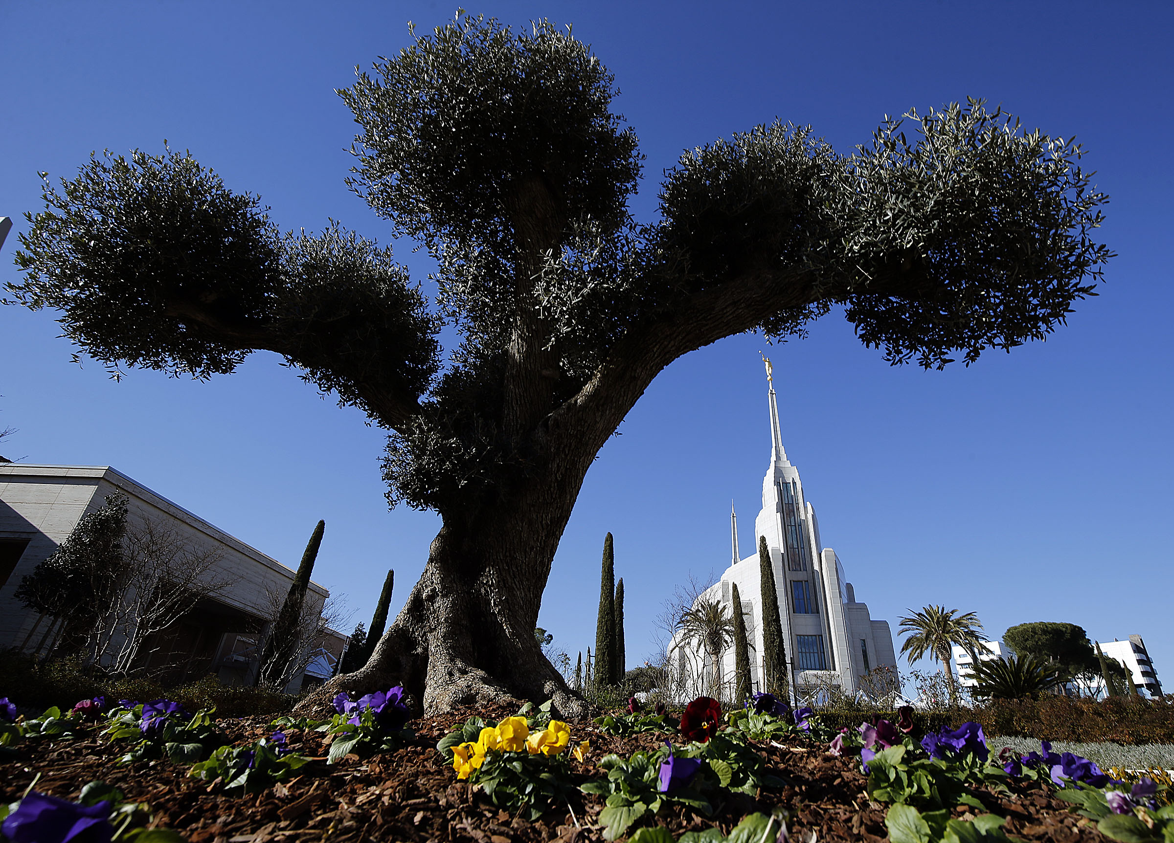One of four trees that are 400 to 500 years old are shown on the grounds of the Rome Italy Temple of The Church of Jesus Christ of Latter-day Saints on Tuesday, Jan. 15, 2019.