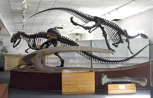 The skeletal frame of Utah's state dinosaur, at left, and Camptosaurus, at right, are on display at BYU's Paleontology Museum.