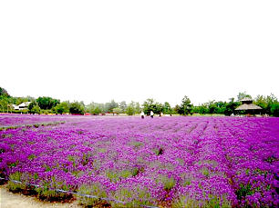 Japan Sapporo Mission missionaries walk through lavender field.