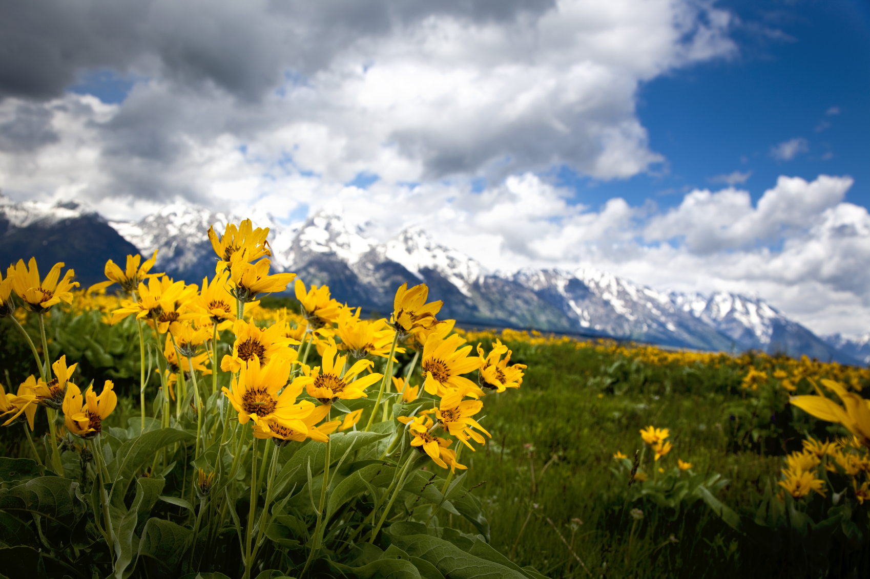 Wildflowers at the Grand Tetons National Park.