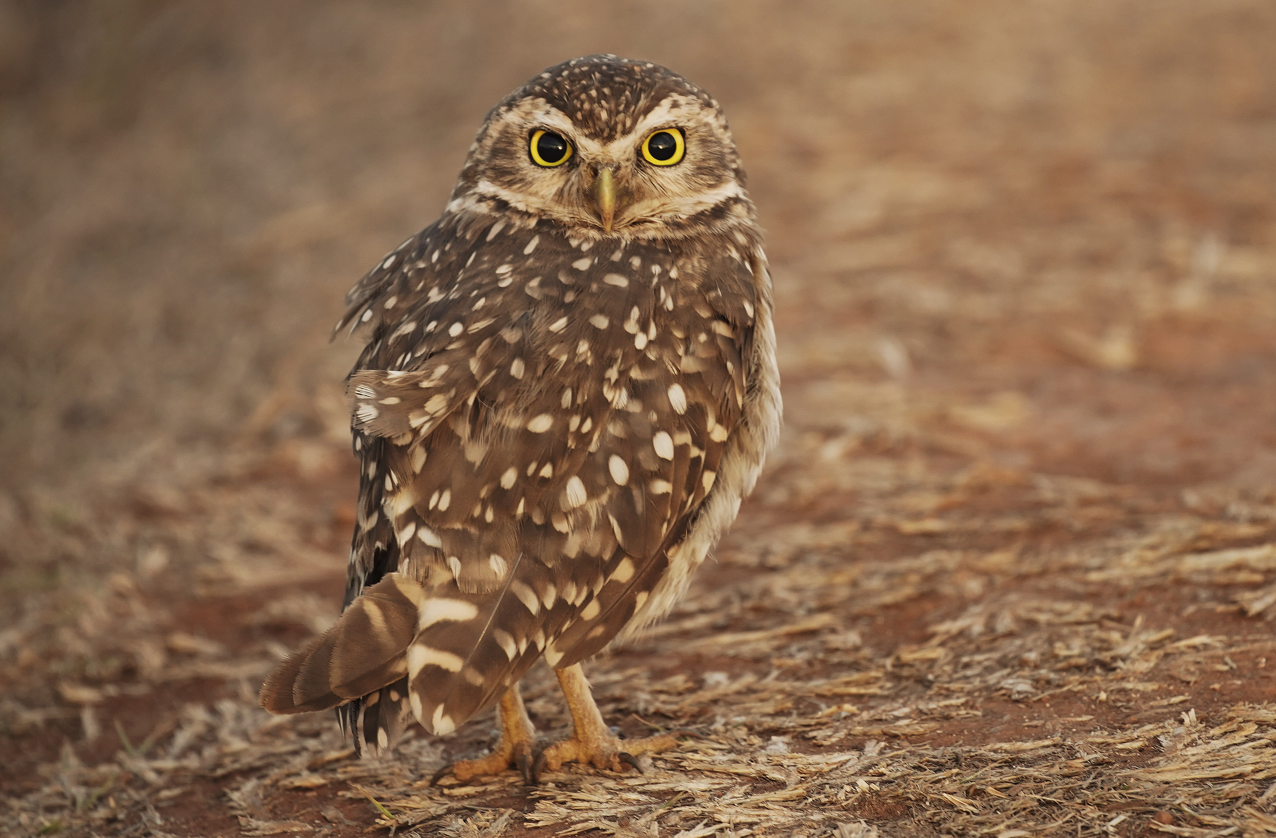 An owl sits by the side of the road in Brasilia, Brazil, on Friday, Aug. 30, 2019.