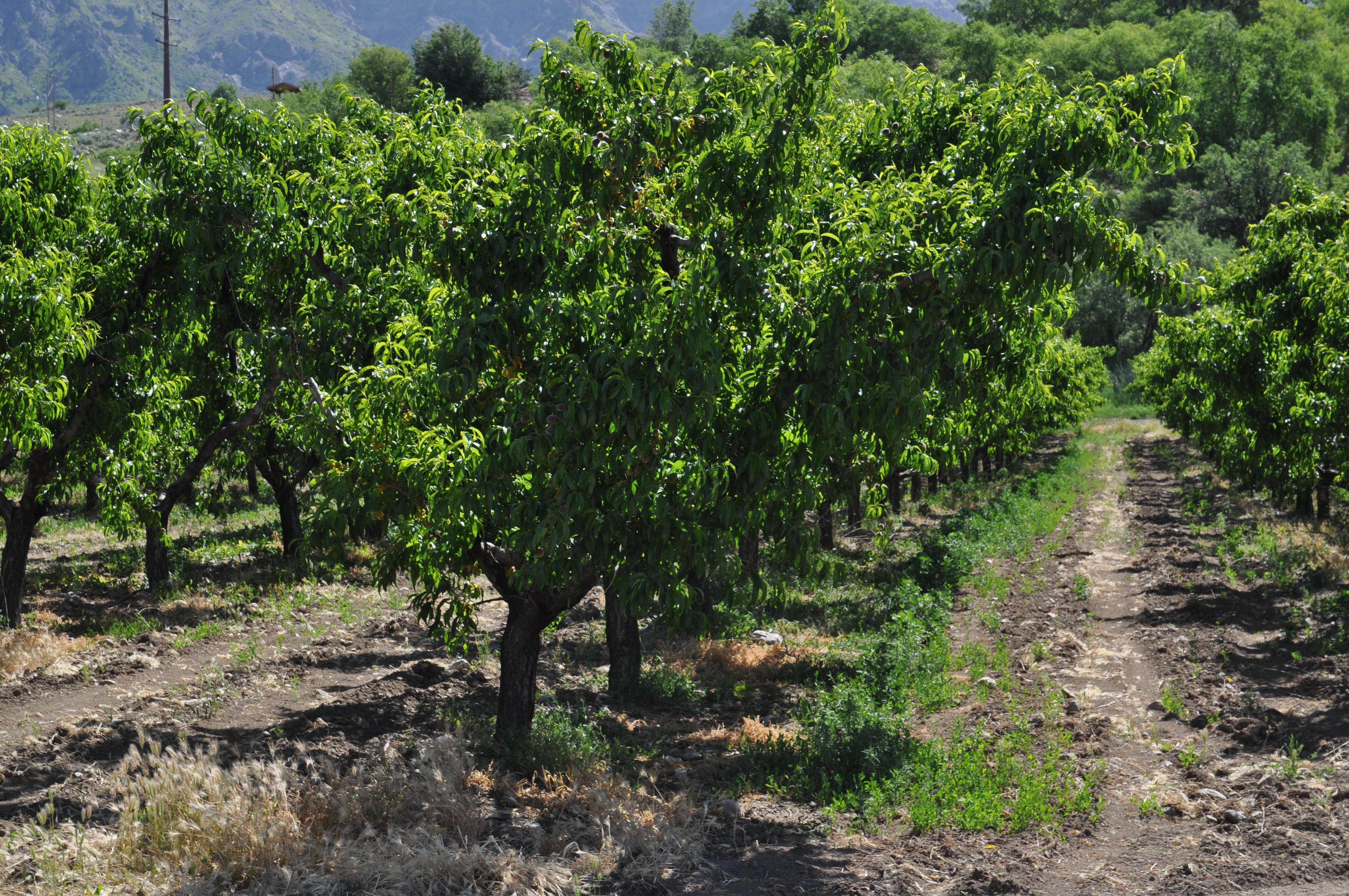 Fruit trees line Utah's Famous Fruit Way in Box Elder County.