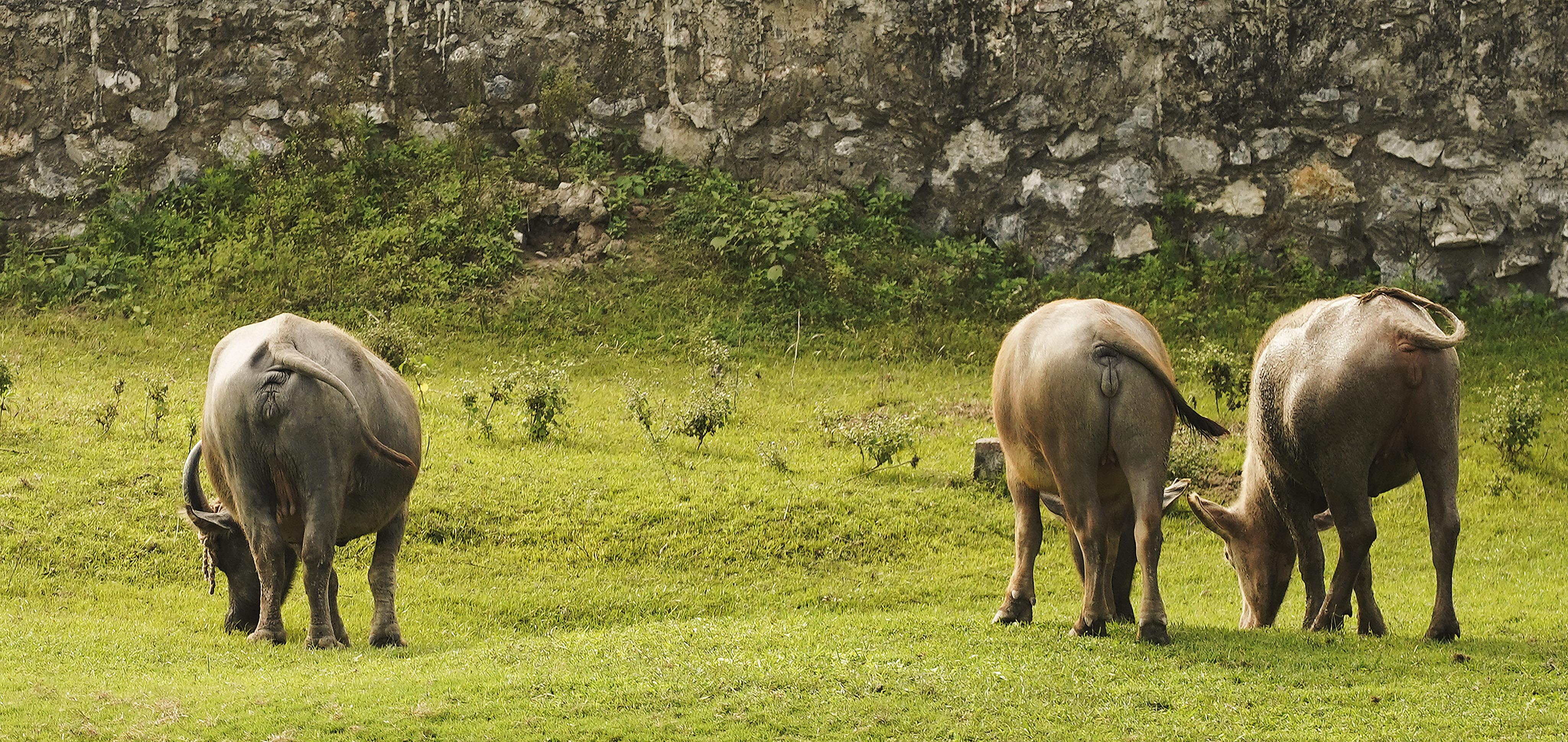 Water buffalo graze in Hanoi, Vietnam, on Saturday, Nov. 16, 2019.