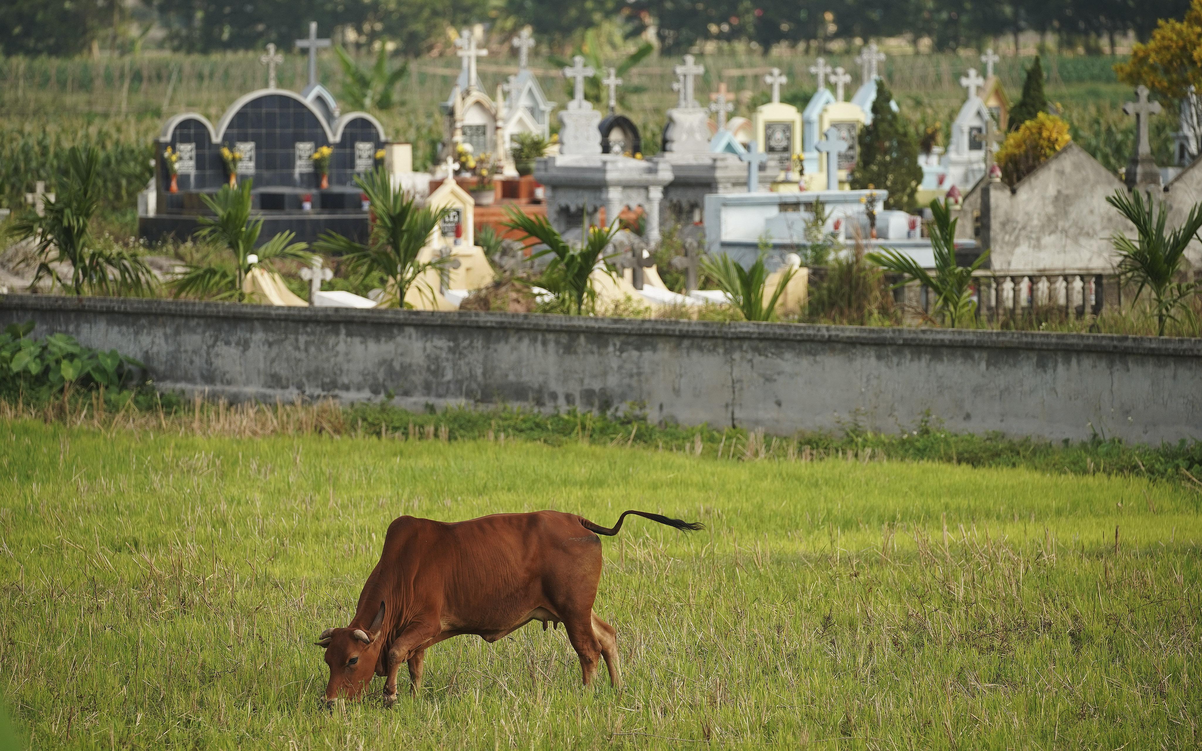 A cow grazes near a cemetery in Hanoi, Vietnam on Saturday, Nov. 16, 2019.