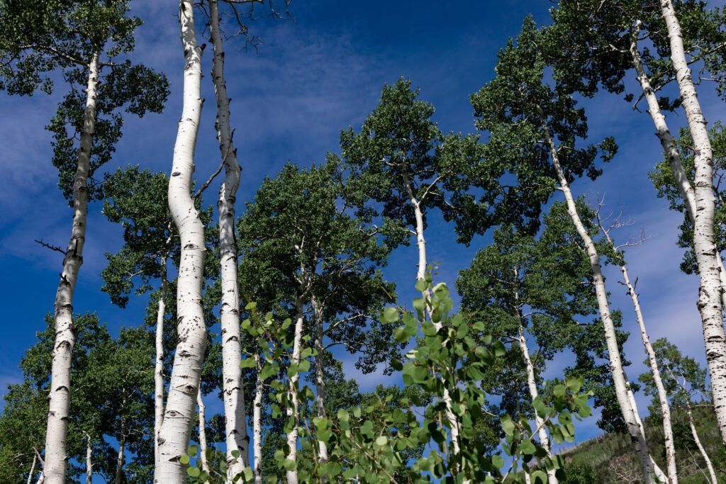 Aspen trees that are part of the Pando Clone grow near Fish Lake in Utah. Credit: Shutterstock