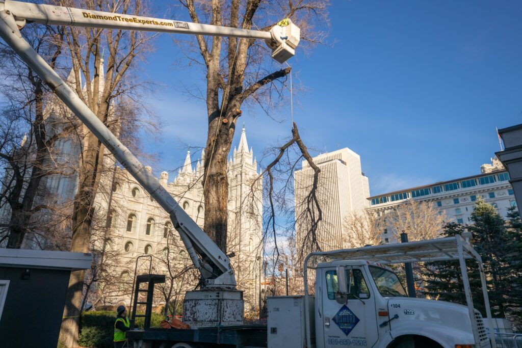 Trees are removed to give construction crews access to excavate around the Salt Lake Temple for a major renovation.