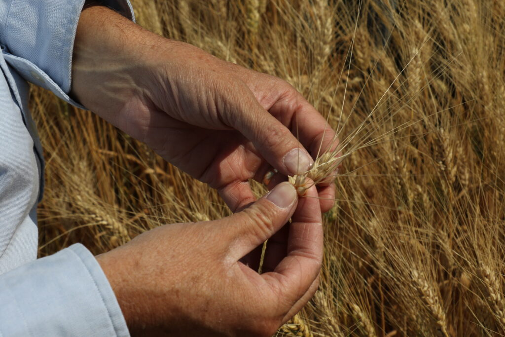 Farmer inspects wheat kernals at Church welfare wheat farm in Geraldine, Montana.