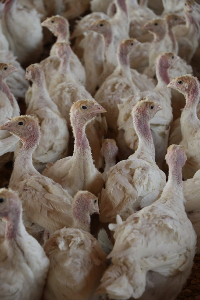 Turkeys raised at Church-owned poultry farm near Moroni, Utah, are used to feed people in need through the Church's welfare program. The poultry operation has not been affected by ongoing coronavirus pandemic.