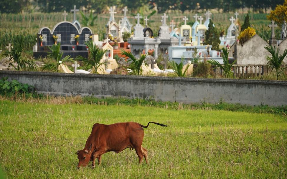 Uma vaca pasta próximo a um cemitério em Hanói, Vietnã, no sábado, dia 16 de novembro, 2019.